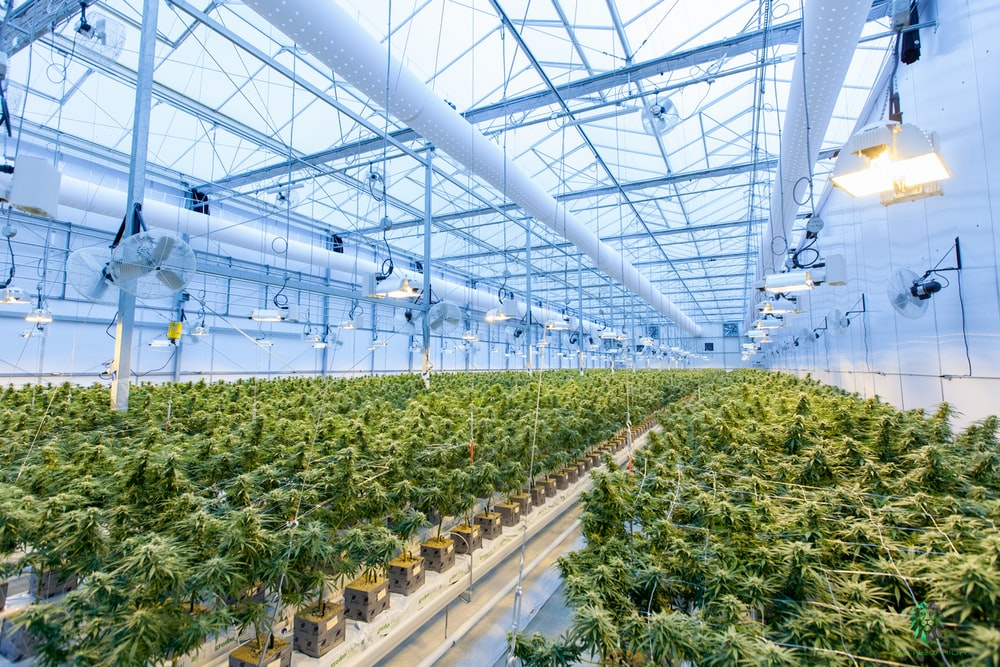 Invertir en empresas de cannabis